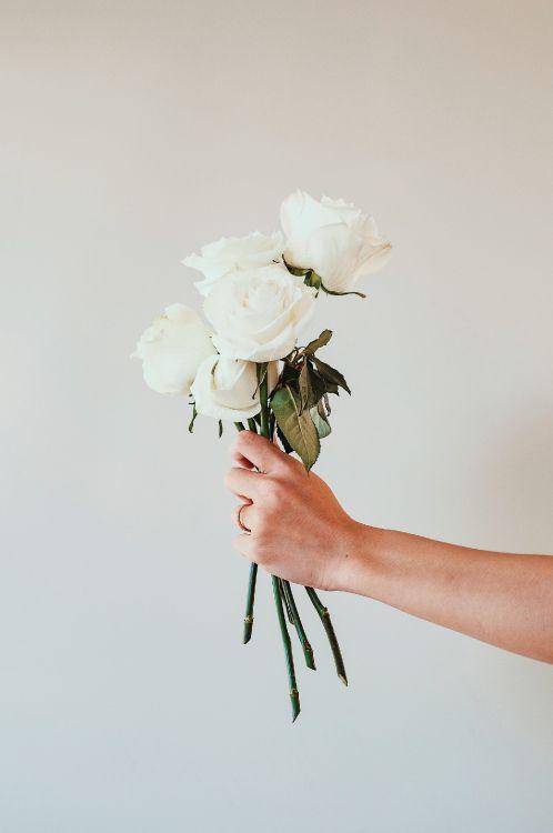 Hintergrundbilder weiße rosen 24 Wallpaper